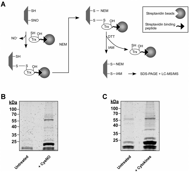 SNO trapping-based analysis of S-nitrosylation in A549 cells. ( A) Schematic of the proteomic approach. Digitonin cell lysates, obtained from A549 treated with NO donor or with cytokines are incubated with a thioredoxin (Trx) trap mutant, Trx(C35S). In the trap mutant the resolving cysteine is replaced by serine (-OH). The protein also contains a streptavidin binding peptide. Trx(C35S) forms mixed disulfide bonds with nitrosylated substrates and the resulting complexes are pulled-down using avidin agarose. Identification of nitrosylation sites is assisted by differential thiol labeling, involving the sequential application of N-ethylmaleimide (NEM) and iodoacetamide (IAM). Proteins captured in the Trx pull-down are analyzed by SDS-PAGE or liquid chromatography-tandem mass spectrometry (LC-MS/MS). (B) A549 cells were treated with or without 500 μM S-nitrosocysteine (CysNO) for 10 min and thereafter digitonin lysates were incubated with Trx(C35S). Proteins captured by Trx were released by DTT and then analyzed by SDS-PAGE. Gels were stained with Krypton fluorescent protein stain and visualized using the Odyssey infrared imaging system. (C) A549 cells were treated for 72 h with LPS (0.5 mg/ml) and a cytokine mixture that included TNFα (20 ng/ml), IFN-γ (10 ng/ml) and IL-1β (10 ng/ml). Trx-based trapping of nitrosylated proteins was performed as in B.