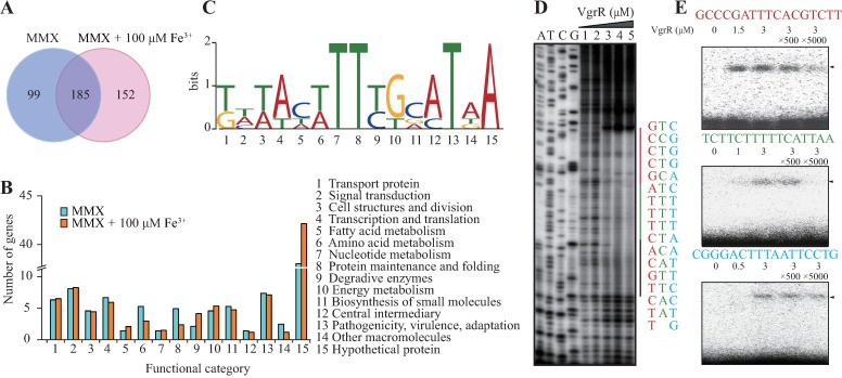 Dissection of the VgrR binding consensus motif. (A) Venn diagram showing the number of VgrR-regulated genes identified by ChIP-seq. (B) Functional categories of the VgrR-regulated genes identified by ChIP-seq. Details of the genes are listed in S6 and S7 Tables. (C) Deduced consensus VgrR-binding DNA motif based on ChIP-seq data. Weblogo was used to show the nucleotide composition. (D) Mapping the VgrR protected DNA region in the 5′ upstream sequence of XC1241 ( tdvA ) by DNase I footprinting. The amounts of VgrR protein used in the reactions were 1: zero; 2: 0.08 μM; 3: 0.8 μM; 4: 3.2 μM; and 5: 8.0 μM. The DNA regions protected by VgrR are shown on the right of the footprinting results, with the three possible VgrR-binding motifs shown in red, green, and black, respectively. A-T-C-G lanes are the DNA ladders obtained by a dideoxy-mediated chain-termination method using the same DNA sequence as the template. (E) Electrophoretic mobility shift assay verified the DNA motif of the XC1241 promoter bound by VgrR. The DNA probes were chemically synthesized according to those shown in (D). Sequences of the promoter region of XC1241 are listed above each panel. Each DNA probe was labeled by [γ- 32 P]ATP. Triangles indicate the VgrR-DNA complexes. All experiments were repeated three times.