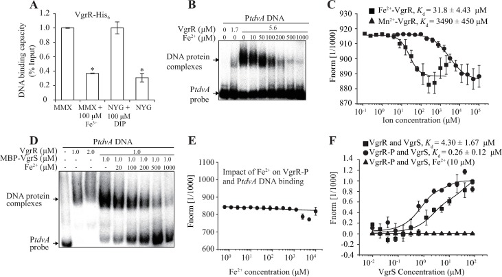 Iron-VgrR binding disassociates VgrR-DNA and VgrR-VgrS interactions. (A) The amount of VgrR–P tdvA binding was decreased in iron-replete conditions. ChIP-qPCR was conducted to quantify the enrichment of VgrR at the tdvA promoter in vivo when bacteria were grown under iron-replete and iron-depleted conditions, respectively. The experiment was repeated three times. Vertical bars indicate the standard deviations. (B) The presence of Fe 2+ inhibits the formation of the VgrR–P tdvA complex in vitro . Electrophoretic mobility shift assays were conducted to determine the impact of Fe 2+ on VgrR–P tdvA binding. The concentrations of Fe 2+ were gradually increased from 10 μM to 1.0 mM. The assay was repeated independently three times. (C). Fe 2+ directly binds VgrR. 2 μM VgrR and Fe 2+ or Mn 2+ was used in an MST assay. The titer of Fe 2+ ranged from 0.12 μM to 2 mM. The titer of Mn 2+ ranged from 6.1 to 100 mM. (D) Addition of ferrous iron disassociates the binding between phosphorylated VgrR and P tdvA . Electrophoretic mobility shift assays were conducted to determine the impact of Fe 2+ on VgrR–P tdvA binding. VgrR was phosphorylated by MBP-VgrS and ATP. The concentrations of Fe 2+ were gradually increased from 20 μM to 1.0 mM. The assay was repeated independently three times. (E) Ferrous iron disassociates the interaction between phosphorylated VgrR and P tdvA . 5′-FAM labelled P tdvA DNA was used in the MST assay. Different concentrations of Fe 2+ (0.61 μM -10 mM) were added to the mixture as indicated. (F) Ferrous iron disassociates the interaction between VgrR and VgrS. VgrR protein was labelled in the MST assay. If needed, VgrR was phosphorylated by acetyl phosphate. Different concentrations of VgrS membrane were added to the mixture as indicated. In (C, E and F), the experiment was repeated independently three times.