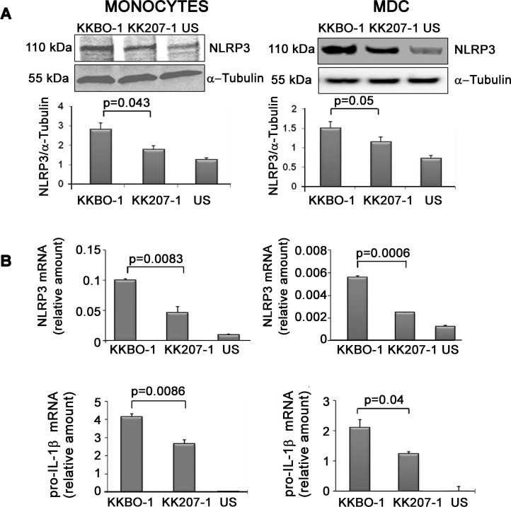 Effect of ST258 KP strains on NLRP3 expression. Panel A: Effect of ST258 KP strains on NLRP3 protein expression. Monocytes or MDC from 3 different donors were cultured at 10 6 cells/ml in RPMI containing 10% FBS with live ST258 KP- strains at 1:1 ratio for 7 hours. At the end of incubation cells were lysed and analyzed by Western Blot. Results from one representative experiment are shown. The histogram below shows the results of densitometric analysis from the three different experiments (mean ± SE). Panel B: Effect of ST258 KP strains on NLRP3 and pro- IL-1 β (gene) expression. Monocytes or MDC were cultured at 10 6 cells/ml in the presence or absence of live ST258 KP strains for 4 hours at 1:1 cell ratio. Cells were lysed to obtain total RNA. The NLRP3 and pro- IL-1 β gene expression was evaluated by RT-PCR using specific primers. Results are expressed as mean ± SE of mRNA relative amounts (2 -ΔCT ) of experimental triplicates. Histograms show one representative experiment out of four performed. Statistical analysis was performed by Student t -test and p ≤ 0.05 was considered significant.