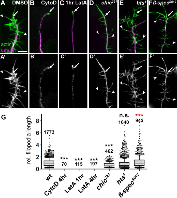 Effects of actin manipulations on filopodial length. (A–F') Filopodial length phenotypes in DMSO-treated wild-type primary neurons or neurons treated with drugs or being mutant, as indicated; cells are double-labeled for actin (green in top row, white in bottom row) and tubulin (magenta in top row); drug treatments: 800 nM CytD for 4 h, 200 nM LatA for 1 h. (G) Quantifications of filopodia length caused by drug treatment or mutations shown at the top (all normalized and compared with DMSO-treated controls); numbers above the bars indicate the number of filopodia analyzed in each experiment; note that filopodia were completely absent in all cases of CytoD and LatA treatment. p values were calculated using the Mann–Whitney rank sum test (n.s., p > 0.05; *** p