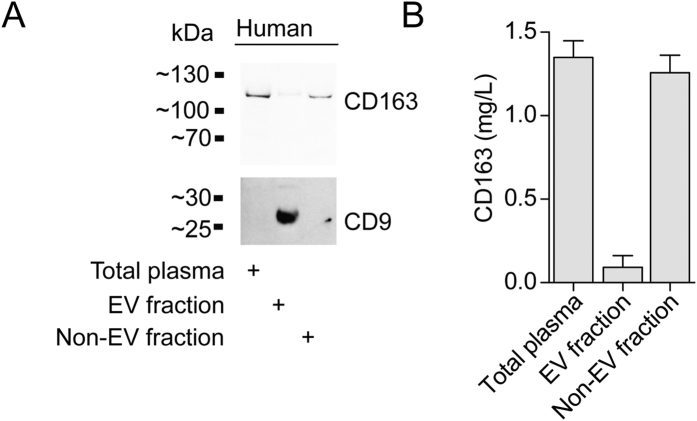 CD163 is expression on EVs in human plasma. ( A ) Western blot analysis of CD9 and CD163. Blots are cropped for presentation. Full-length blots are available in Supplementary Fig. 3 . ( B ) CD163 ELISA of human plasma before (total plasma/soluble CD163) and after (Non-EV fraction/soluble ectodomain CD163) precipitation of EVs (EV fraction/EV CD163). Data presented as median with interquartile range.