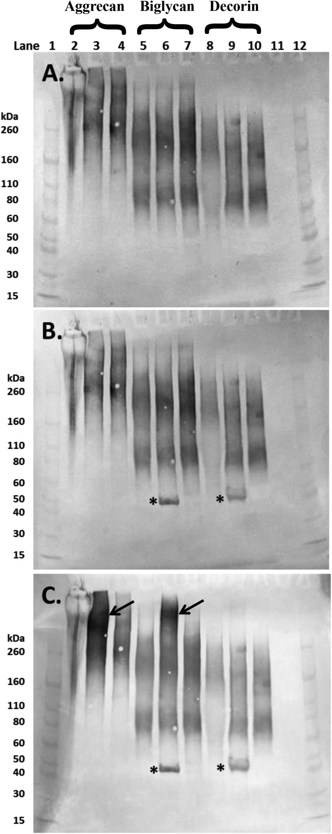 Western blot images of aliquots of purified aggrecan isolated from a human intervertebral disc (lanes 2–4), and the commercially sourced 'biglycan' (lanes 5–7) and 'decorin' (lanes 8–10) following separation on 4–12% Bis-Tris gel PGs in lanes 2, 5 and 8 were undigested whereas those in lanes 3, 6 and 9 and 4, 7 and 10 had been digested with chondroitinase ABC and chondroitinase AC respectively (both 250 mU/ml). Membranes were probed sequentially with monoclonal antibodies to ( A ) over-sulfated KS heptasaccharides (5D4); ( B ) 4-sulfated unsaturated disaccharide CS neo-epitopes (2B6) and (C ) 6-sulfated unsaturated disaccharide CS neo-epitopes (3B3). Lanes 1 and 12 contain molecular weight standards. The expected molecular weight of the intact core protein of both biglycan and decorin is approximately 45 kDa (*). Aggrecan bands were particularly prominent in lane 3 (4C) following chondrointase ABC treatment (arrow), similar bands were seen in the 'biglycan' preparation (lane 6, arrow).