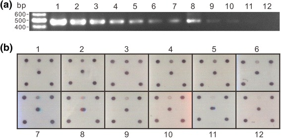 Sensitivity assay of the microarray. The PCR product amplified from pTOPO-TSWV-N using the primer pair Pr-dTS-f/Pr-dTS-r was diluted as shown for the test. a The diluted amplicons were analysed by agarose gel electrophoresis with ethidium bromide staining. b The microarray result. The concentrations of amplicon are indicated as 1: 250 ng; 2: 125 ng; 3: 62.5 ng; 4: 32 ng; 5: 16 ng; 6: 8 ng; 7: 4 ng; 8: 2 ng; 9: 1 ng; 10: 0.5 ng; 11: 0.2 ng; and 12: 0.1 ng