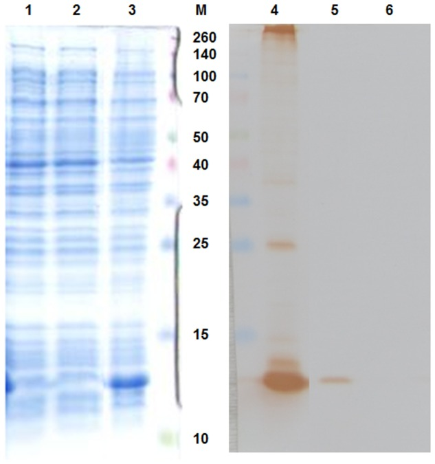Sodium dodecyl sulfate-polyacrylamide gel electrophoresis <t>(SDS-PAGE</t> – left part of the picture) and Western blot ( right part of the picture) results. 1,6, E. coli BL21 (DE3) negative control; 2,5, IPTG-non-induced culture; 3,4, IPTG-induced culture. 13 kDa <t>MS2</t> coat protein was massively produced in the IPTG-induced culture. M, marker Spectra multicolor broad range protein ladder (Fermentas), the marker values are in kDa.