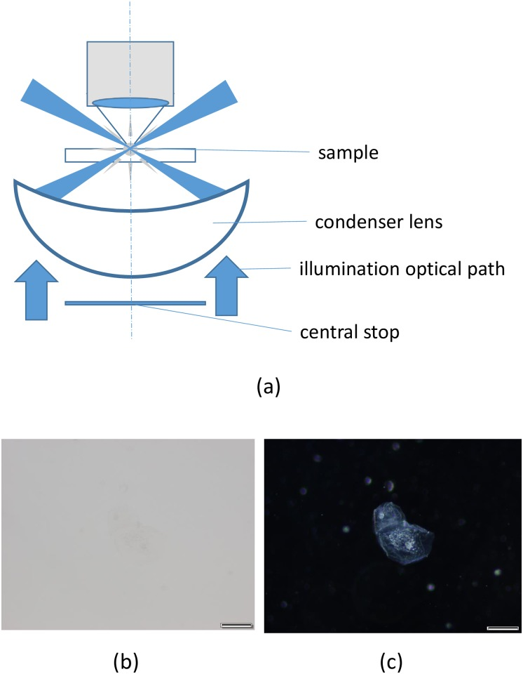 Cheek cell image using brightfield and darkfield microscopy. (a) Schematic diagrams of a darkfield condenser, (b) brightfield microscopy image, and (c) darkfield microscopy image of a cheek cell. Scale bars in the Figs represent 5 μm. Images were taken with UplanSapo 60× oil (NA 1.35). All images (b, c) were taken using the color camera.