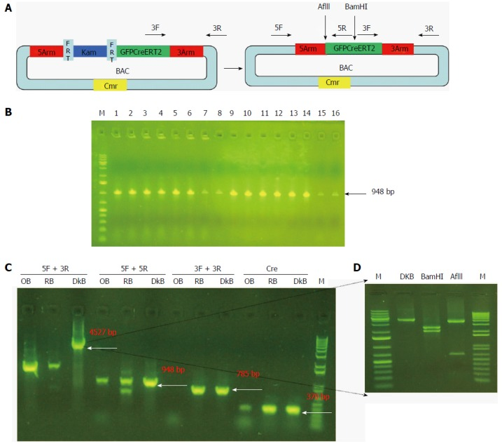 Screening and confirmation of recombinant clones without the kanamycin unit. A: Diagram of the removal of the Kam unit in SW105 E. coli ; B: Electrophoretogram of the PCR product according to the recombinant BAC template with the 5arm primer; C: Electrophoretogram of the PCR product according to the recombinant BAC template with different primers; D: Electrophoretogram of the PCR product with BamH I or AflI I digestion. M: Marker; OB: Original BAC; RB: Recombinant BAC; DkB: Deleted kanamycin BAC; 5F: Forward primer of the 5arm; 5R: Reverse primer of the 5arm; 3F: Forward primer of the 3arm; 3R: Reverse primer of the 3arm; Cre: Cre primer.