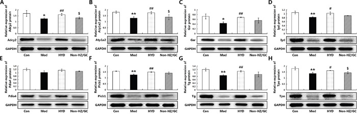 Effect of herb pair HZ-GC on protein expression levels of the corresponding candidate targets (A) Adcy2; (B) <t>Atp1a2;</t> (C) Gsr; (D) Iyd; (E) Pdia4; (F) Plcb1; (G) Tg; (H) Tpo according to Western blot analysis Data are represented as the mean ± S.E. '*', '**', and '***', P