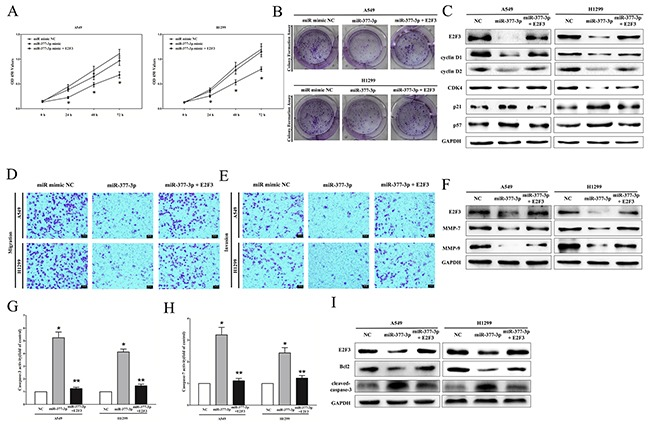 miR-377-3p exerts tumor suppressor function through down-regulation of E2F3 in NSCLC cell lines A-B. CCK8 and colony formation assays demonstrated E2F3 reversed the growth inhibitory role of miR-377-3p in A549 and H1299 cells. C. Protein expression of E2F3, cyclin D1, cyclin D2, CDK4, p21, and p57 after transfection. D-E. Transwell migration/invasion assays demonstrated that E2F3 reversed the inhibitory role of miR-377-3p on migration and invasion in A549 and H1299 cells. F. Protein expression of E2F3, MMP-7, and MMP-9 after transfection. G-H. Caspase-3 and caspase-7 activity assays demonstrated that E2F3 reversed the favorable role of miR-377-3p on apoptosis in A549 and H1299 cells. I. Protein expression of E2F3, Bcl2, and cleaved-caspase-3 after transfection. Assays were performed in triplicate. * P
