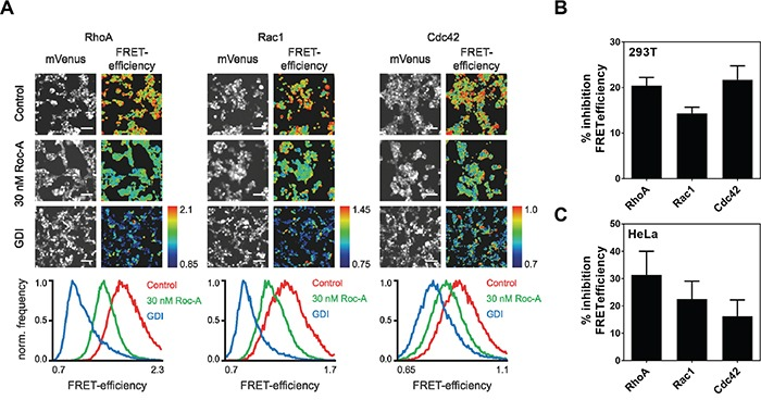 Roc-A inhibits the activity of the Rho GTPases RhoA, Rac1 and Cdc42 A. Roc-A inhibits the activity of the Rho GTPases RhoA, Rac1 and Cdc42. RhoA, Rac1 or Cdc42 FRET sensors were overexpressed in 293T cells either with a control plasmid (Control, 30 nM Roc-A) or together with GDI. Cells were treated with 30 nM Roc-A or vehicle (DMSO for Control and GDI) for 24h. Representative fluorescence micrographs show mVenus channel of 293T cells expressing the indicated FRET sensors. Scale bars: 100 μm. Pseudocolored FRET efficiency images of the same field of view were calculated as a ratio of FRET acceptor over FRET donor emission intensity reflecting the GTPase activity levels. The histograms show the pixel distribution of the FRET efficiency within the FRET emission ratio images. B. Quantification of A. FRET efficiency was normalized to GDI and DMSO values and % inhibition FRET efficiency was calculated. Results are an average of six independent experiments. Error bars (S.E.M.) are shown. C. Roc-A inhibits the activity of the Rho GTPases RhoA, Rac1 and Cdc42 in HeLa cells. RhoA, Rac1 or Cdc42 FRET sensors were overexpressed in HeLa cells either with a control plasmid (Control, 30 nM Roc-A) or together with GDI. Cells were treated with 30 nM Roc-A or vehicle (DMSO for Control and GDI) for 24h. FRET efficiency was normalized to GDI and DMSO values and % inhibition FRET efficiency was calculated. Results are an average of three independent experiments. Error bars (S.E.M.) are shown.