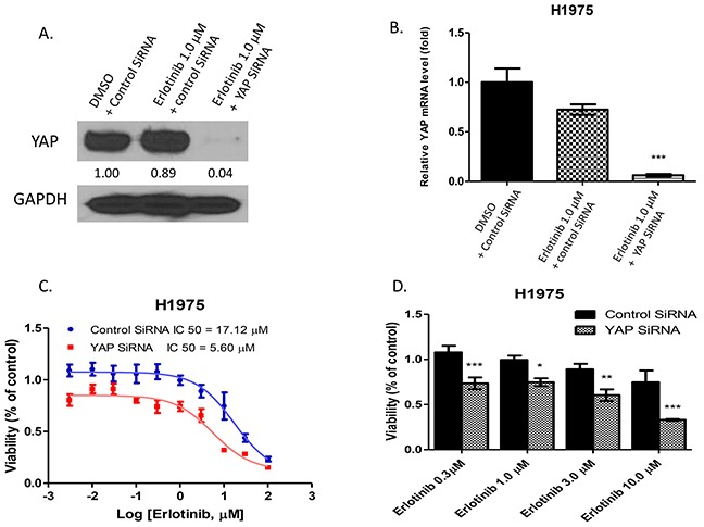 Inhibition of YAP by <t>siRNA</t> enhanced the cytotoxicity of erlotinib to H1975 cells A. Western blotting showed that YAP protein expression level decreased after YAP siRNA <t>transfection</t> and erlotinib treatment in H1975 cells. B. YAP mRNA expression significantly decreased in H1975 cells with YAP siRNA transfection after erlotinib treatment (***P