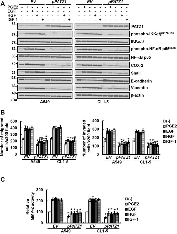 Overexpression of PATZ1 attenuates the effects of growth factors and PGE2 on phospho-NF-κB, COX-2, Snail, EMT and MMP-2 activity as well as migration/invasion of the lung cancer cells Lung cancer cells (A549 and CL1-5) were transfected either with control empty vector (EV) or pCMV6- PATZ1 ( pPATZ1 ) for 24 h and then treated for 24 h with 20 μg/ml of PGE2 or 100 ng/ml growth factors as indicated. A. The cell lysates were examined by immunoblotting for protein expression. PATZ1, phospho-IKKα/β S176/180 , IKKα/β, phospho-NF-κB p65 S536 and NF-κB were measured at 1 h, all the others were determined at 24 h after PGE2 and growth factor treatment. B and C. The migration and invasion abilities of cells were examined by transwell assays after 20 h incubation. The activities of MMP-2 in cell-conditioned media were analyzed by gelatin zymography after culturing cells in serum-free medium for 24 h. Blots are representative of three independent experiments. Data represent means ± s.d. of three independent experiments; * P