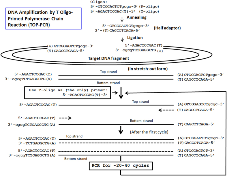 Procedure of T oligo-primed polymerase chain reaction (TOP-PCR). Half adaptor is generated by annealing P and T oligos. P oligo carries a 5′ phosphate required for ligation to target DNA fragments, while T oligo does not. During amplification, only the T oligo serves as the PCR primer. Number of amplification cycle depends on the initial concentration of the target DNA molecules and the desired final quantity.