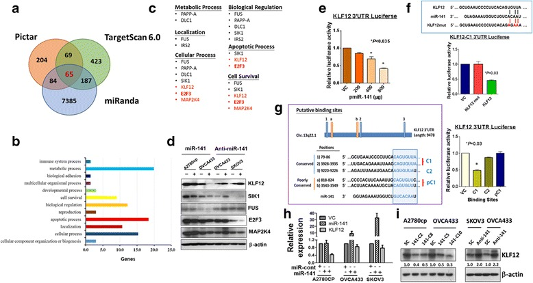 KLF12 is a direct target of miR-141. a The downstream targets of miR-141 were predicted by an in silico study using three bioinformatics algorithms (PicTar, Miranda, and TargetScanHuman 6.0). b Ontology analysis using miRNA_Targets database 22 identified those predicted targets are involved in metabolic process, biological regulation, localization and cellular process etc. c The putative miR-141 targets which may be associated with anoikis resistance of ovarian cancer cells are categorized into six functional aspects. The red highlighted genes are the novel targets, while the black color genes have been reported as the miR-141 direct targets. d Western blot analysis showed that enforced expression of miR-141 (+) could reduce, while depletion of endogenous miR-141 by anti-miR-141 (+) could enhance the expressions of KLF12 and SIK1 only as compared with their controls (−) in ovarian cancer cells. But the expressions of other putative downstream targets; FUS, E2F3 and MAP2K4 had little or no change when the level of miR-141 was altered. e Luciferase reporter assay was performed in HEK293 cells and showed that the 3' UTR of KLF12 luciferase activity was significantly inhibited by miR-141 expression dependently. f A schematic diagram shows the putative binding sites for miR-141 on the whole 3'UTR region of KLF12. Transient transfection of miR-141 mitigated the expression of KLF12 3'UTR-luciferase reporter activity. The KLF12 3'UTR with C1 binding site showed the highest suppression by miR-141. g ( Left panel ) The schematic diagram shows the most conserved and common pairing of wild-type and its mutant target regions of KLF12 and miR-141. ( Right panel ) The bar chart shows that miR-141 remarkably reduced the wild-type, whereas the KLF12_3'UTR mutant showed no change in luciferase reporter activity. h QPCR showed that miR-141 could reduce the expression of KLF12 mRNA in ovarian cancer cell lines. i Stable expression of miR-141 significantly reduced the expression of KLF1