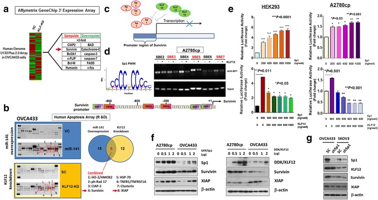 Increased anoikis resistance in ovarian cancer cells is involved intrinsic apoptotic pathway. a The Affymetrix GeneChip 3' Expression Array revealed a panel of apoptosis-related genes (Fold change > 2) induced in KLF12 knockdown OVCA433 cells which showed increased anoikis resistance. b Proteome Profiler (Human Apoptosis Array Kit) showed that 8 out of 35 Intrinsic Apoptosis-related factors were commonly upregulated in miR-141 enforced expression or KLF12 knockdown OVCA433 cells. c A schematic diagram illustrates that there are several Sp1 binding sites located along the promoter of survivin, confirming Sp1 is able to transcriptionally upregulate survivin. KLF12 is able to interfere the interaction of Sp1 with the promoter of survivin and the transcriptional activity. d ChIP assay showed the competitive occupancy of Sp1 by KLF12 on the promoter of survivin . ( Upper ) Position weight matrix (PWM) for SP1-binding sequence motif derived from Jaspar database. ChIP assays showed the occupancy of Sp1 on 3 SBEs ( Red color ) of the Survivin promoter in A2780cp cells were inhibited by KLF12. ( Lower ) Schematic diagram shows the positions of seven higher binding affinity SBEs on the survivin promoter. e Luciferase reporter assay using Survivin promoter luciferase reporter construct (luc-Survivin) demonstrated that Sp1 could significantly elevate the luciferase reporter signals from ~3-5.5 folds in HEK293 and ~48 to 70% in A2780cp by Sp1 dose dependently (200 to 1000 ng/well) ( Upper ). Using luc-survivin and pCMV6-AC-GFP-Sp1 (600 ng/well) and co-transfected with varied amount of pCMV6-KLF12 (200–800 ng/well), results showed that the Sp1-upregulated survivin signals were remarkably reduced from 5 to 2 folds in HEK293, and from 158% to 45% in A2780cp by KLF12 in a dose-dependent manner (200 – 1000 ng/well). f Western blot analysis showed that transient transfection of Sp1 could upregulate, while KLF12 could inhibit, survivin and XIAP expressions in A2780cp and OVCA433 cells.