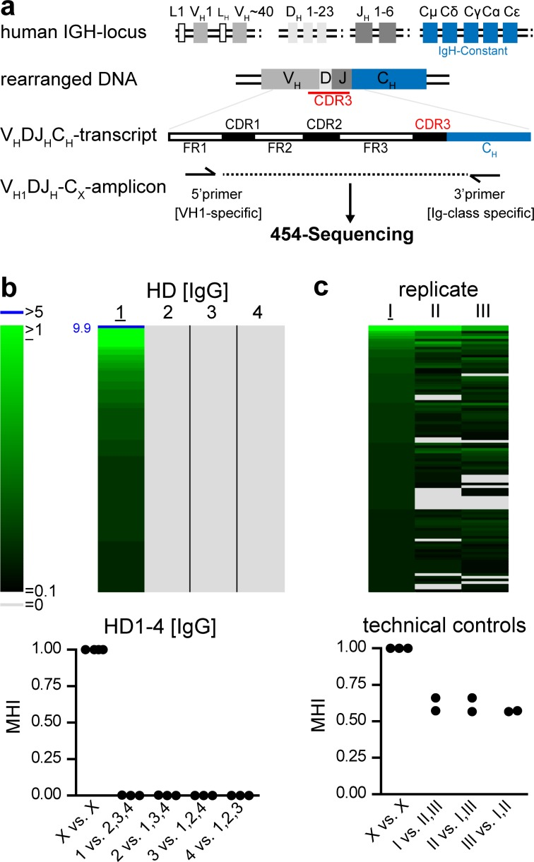 Human bone marrow samples show highly individual Ig-Repertoires. (a) Schematic overview of human VDJ-amplicons. Amplicon libraries for each Ig class contain framework (FR2, 3) and complementary determining regions (CDR1, 2, 3). (b) In a set of 4000 IgG-sequences per bone marrow sample, clones with 95% CDR3 sequence identity and identical VJ-usage were clustered as clonotypes. Frequencies of clonotypes are indicated by color code; clonotypes comprising more than 5% of the repertoire are highlighted in blue and numbers indicate their frequencies; grey color indicates absence of a given clonotype. Clontypes were sorted according to their frequency in healthy donor (HD) 1 and the 100 most frequent clonotypes of HD1 and their abundance in HD2-4 were displayed as heatmap. Similarity of repertoires was expressed as Morisita-Horn index (MHI), comparing 4000 clustered CDR3 sequences of HD1-4. Symbols represent pairwise comparisons. (c) The IgG-repertoire of HD4 (I) was re-investigated as independent V H1 DJ-amplificate (II) or de-novo cDNA plus V H1 DJ-amplificate (III). Repertoire-similarity of I to its technical replicates II and III is illustrated by heatmap and MHI, evaluating 2500 clustered sequences of each sample.