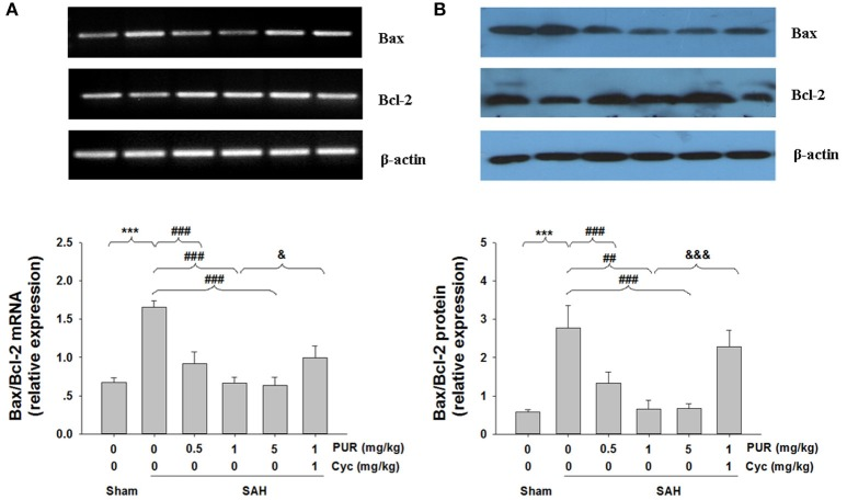Effects of treatment with PUR on Bax, Bcl-2 in mRNA and protein levels. (A) The relative expression levels of Bax and Bcl-2 mRNA in the PFC were analyzed by RT-PCR. The densities of the protein bands were analyzed and normalized to β-actin, n = 3. (B) Representative western blots showing levels of Bax and Bcl-2 in the PFC, Bar graphs showing quantification of the protein levels of Bax and Bcl-2, n = 3. Both the determination of the two signs in mRNA and protein levels were obtained from three separate experiments. Values represent the mean ± SD. *** p