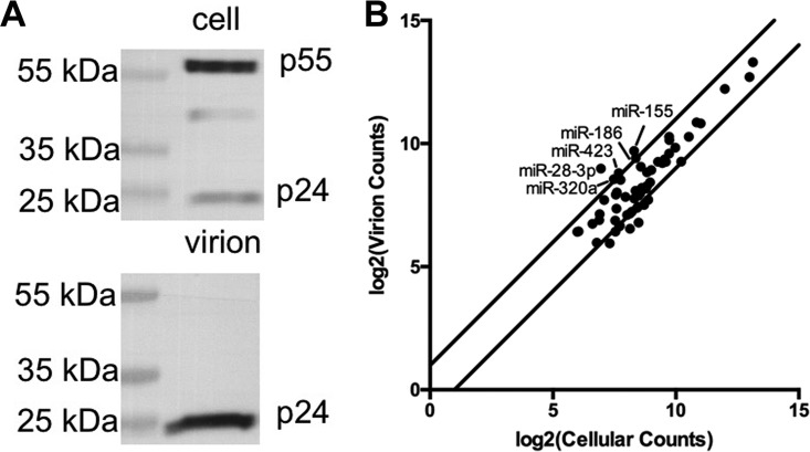 A subset of miRNAs is selectively packaged into HIV-1 virions. (A) Representative Western blot assay of HIV-1 capsid (p24) levels in HIV-1-infected CEM-SS T cells and highly purified virions obtained from the same culture. (B) Most miRNAs are packaged into HIV-1 virions in proportion to their cellular expression level. miRNAs that represent ≥0.1% of the total miRNA level in both purified virions and infected CEM-SS T cells are graphed. The values shown are the averages of data from four independent small RNA-seq experiments. The lines delineate a > 2-fold change in relative miRNA levels between virions and cells. Only five cellular miRNAs fall above this line.