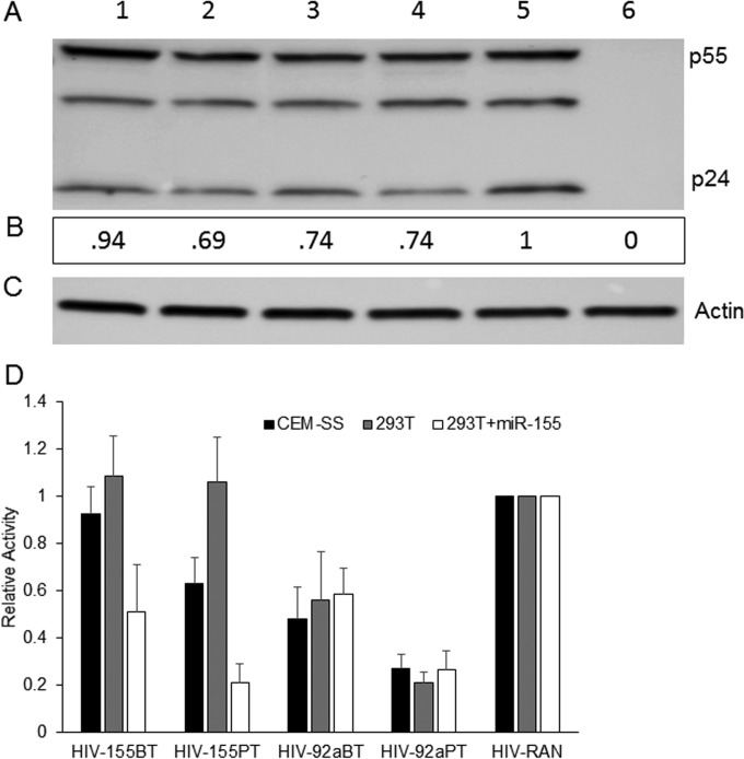 Effect of inserted miRNA BTs or PTs on HIV-1 replication. (A) Representative p24 Western blot assay of whole-cell lysates derived from 293T cells producing HIV-NLuc-155BT (lane 1), HIV-NLuc-155PT (lane 2), HIV-NLuc-92aBT (lane 3), HIV-NLuc-92aPT (lane 4), or HIV-NLuc-RAN (lane 5) or from uninfected cells (lane 6). (B) Relative p24 levels determined by Gene Tools software (Syngene). (C) β-Actin internal loading control. (D) NanoLuc levels in CEM-SS, 293T+CD4/CXCR4, and 293T+CD4/CXCR4/miR-155 cells infected with an HIV-155BT, HIV-155PT, HIV-92aBT, HIV-92aPT, or HIV-RAN preparation. The NLuc activity induced upon pNL-NLuc-RAN infection was set to 1, and the relative NLuc levels in CEM-SS, 293T+CD4/CXCR4, and 293T+CD4/CXCR4/miR-155 cells infected with HIV-NLuc-155BT, HIV-NLuc-155PT, HIV-NLuc-92aBT, or HIV-NLuc-92aPT were determined. The data shown in panel D are from four independent experiments with standard deviations indicated.