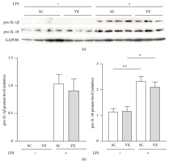 Effects of regular voluntary exercise (VE) on the protein levels of prointerleukin- (IL-) 1 β and pro-IL-18 in macrophages stimulated with or without lipopolysaccharide (LPS). Peritoneal-exudate macrophages isolated from the sedentary control (SC) and VE mice were cultured for 6 h in the presence or absence of 100 ng/mL LPS. (a) The protein levels of pro-IL-1 β and pro-IL-18 were analyzed by western blotting. (b) The protein levels are presented as ratios relative to the levels of glyceraldehyde 3-phosphate dehydrogenase (GAPDH). Mean ± standard error of the mean (SEM; n = 3-4) values are provided. ∗ p
