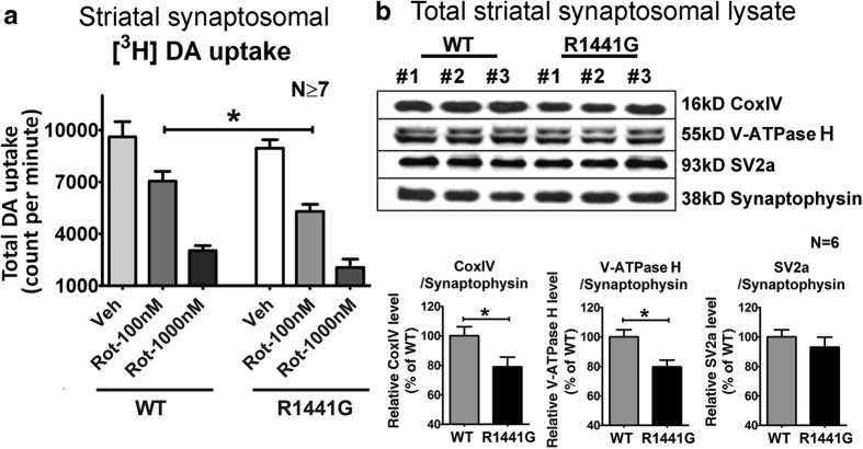 Effects of rotenone on synaptosomal [ 3 H]-DA uptake, and changes in protein levels of CoxIV, V-ATPase H and SV2a in 3-month-old mouse striatal synaptosomes. ( a ) Greater reduction in LRRK2 R1441G mutant synaptosomal [ 3 H]-DA uptake at 100 nM rotenone as compared to similarly treated WT ( WT: 7045 ± 583 cpm; mutant: 5311 ± 405 cpm ). Data represents mean ± standard error of mean (SEM) from at least seven independent experiments. (b) Protein expression levels of CoxIV, V-ATPase H and SV2a in 3-month-old mouse striatal synaptosomes. CoxIV and V-ATPase H levels in total striatal synaptosomal lysates were significantly lower in mutant mice compared to WT controls (N = 6). Statistical significance between groups was analyzed using Student's unpaired t-test, *p