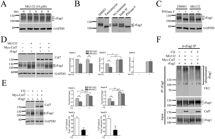 Cul7 degrades rEag1 via both proteasomal and lysosomal pathways. ( A ) Proteasome inhibition with 10 μM <t>MG132</t> (in DMSO). In the absence of MG132, rEag1 expression in HEK293T cells is characterized by two protein bands (a, b) of 110–120 kDa. Increasing MG132 treatment durations leads to enhanced bands a and b signals, as well as the presence of an additional band ( c ) with the lowest molecular weight. ( B ) Glycan structure modification with tunicamycin, Endo H, or PNGase F exerts distinct effects on the three rEag1 protein bands. ( C ) PNGase F and MG132 treatments result in the appearance of apparently identical rEag1 protein band c. ( D ) MG132 treatment reverses Cul7 effect on rEag1 protein band b. ( Left ) Representative immunoblots showing Cul7 effects in the absence or presence of MG132 treatment. Each experimental result is displayed in duplicates. ( Right ) Quantification of Cul7 effects on the three rEag1 protein bands in the absence or presence of MG132 treatment (see Suppl. Fig. S5A for detailed differentiation of rEag1 bands) (*p