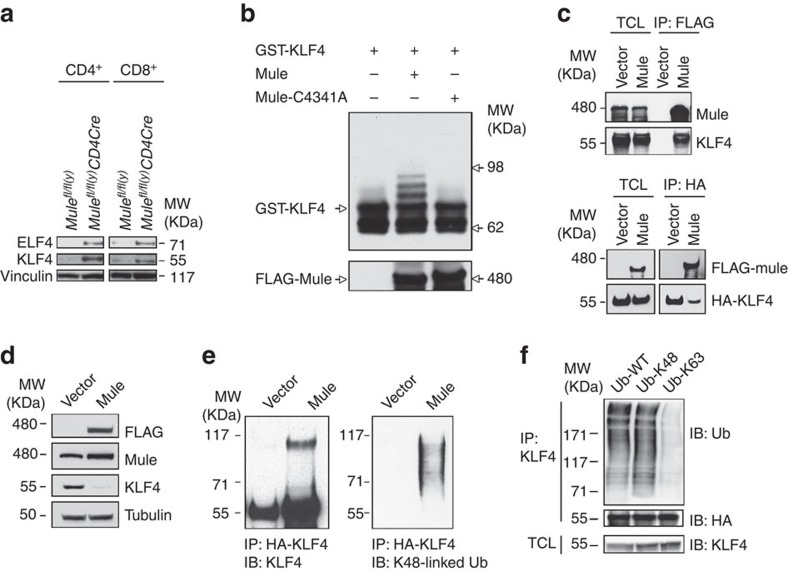 Identification of KLF4 as a novel Mule substrate. ( a ) IB to detect ELF4 and KLF4 in purified control and TMKO CD4 + and CD8 + T cells. ( b ) IB to detect ubiquitinated KLF4 after incubation of recombinant GST-KLF4 with ubiquitin, E1, HBCH5b (E2) and Mule (E3) or Mulec4341A mutant protein (lacks E3 ligase activity). Left lane, negative control; middle lane, assay with WT Mule; right lane, assay with Mulec4341A protein. ( c ) Upper panel: Lysates of 293T cells overexpressing vector control or Flag-Mule were transiently transfected with HA-KLF4 plasmid, IP'd with anti-Flag Ab and IB'd with anti-Mule and anti-KLF4 Abs. Lower panel: Lysates in the upper panel were IP'd with anti-HA Ab and IB'd with anti-Flag Ab to detect Mule, and with anti-HA Ab to detect KLF4. Total cell lysate was IB'd in parallel as a control. ( d ) IB to detect Flag, Mule and KLF4 in lysates of 293T cells overexpressing vector control or Flag-Mule. ( e ) 293T cells stably expressing either empty vector pCI-neo (left) or human Mule cDNA (right) were transiently transfected with HA-KLF4 plasmid and His-ubiquitin. Cell lysates were IP'd with anti-HA beads, and the beads were subjected to IB with either anti-KLF4 Ab (left) or anti-K48-linked Ub Ab (right). ( f ) 293T cells stably expressing Mule cDNA were transiently transfected with HA-Klf4 plasmid together with WT Ub, K48-only Ub or K63-only Ub. Cell lysates were IP'd with anti-HA beads, and the beads were IB'd with either anti-Ub or anti-HA Ab. Total cell lysate was IB'd with anti-KLF4 Ab. Results are representative of two to three independent experiments.