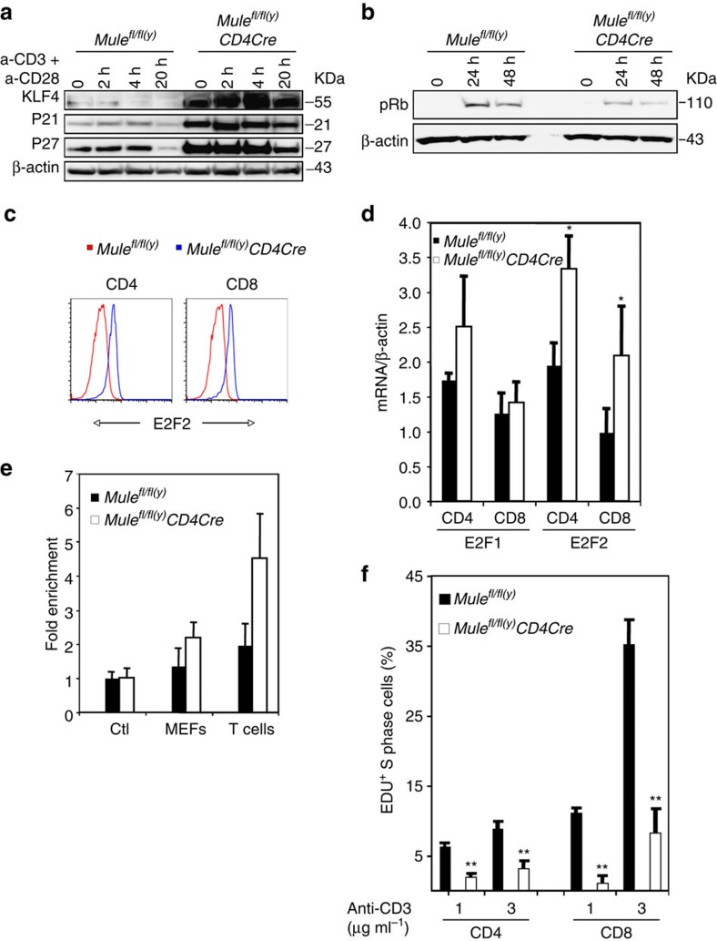 Activation of KLF4 in Mule- deficient T cells impairs cell cycle entry. ( a ) IB to detect KLF4, p21 and p27 proteins in purified control and TMKO T cells that were left untreated (0) or treated with anti-CD3/28 Abs for the indicated times. ( b ) IB to detect phospho-Rb in purified control and TMKO T cells that were left untreated (0) or treated with anti-CD3/28 Abs for the indicated times. ( c ) FCM analysis of E2F2 expression by gated purified control and TMKO CD4 + or CD8 + T cells that were fixed, permeabilized and subjected to intracellular staining with anti-E2F2 Ab. ( d ) Quantitation of RT–PCR analysis of E2F1 and E2F2 mRNA expression in purified, untreated control and TMKO CD4 + and CD8 + T cells. Data were normalized to β-actin mRNA and the relative change in gene expression was calculated using the comparative threshold cycle method (2ΔΔ Ct ). Results are the mean±s.d. ( n =3–4). ( e ) Quantitation of ChIP assays of the binding of KLF4 to the E2F2 enhancer in control (Ctl) and Mule -deficient MEFs, and in purified control and TMKO T cells. ( f ) Quantitation by EDU assay of the percentage of cycling cells in cultures of purified control and TMKO T cells that were treated for 24 h with anti-CD3/28 Abs at the indicated doses. Data are expressed as the percentage of S phase-positive T cells and are the mean±s.d. ( n =3). * P