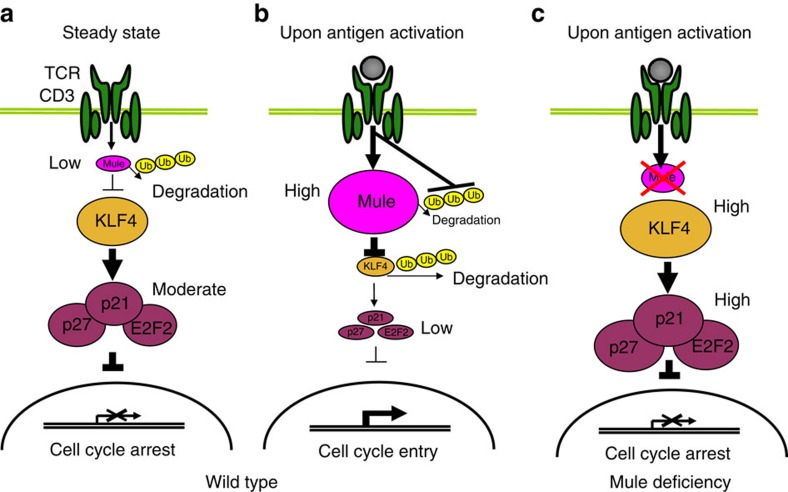 Model of mechanism by which Mule may control T-cell proliferation through ubiquitination and degradation of <t>KLF4.</t> ( a ) WT T cells at steady-state. In the absence of antigenic stimulation, Mule expression in T cells is low due to self-ubiquitination and degradation and its E3 ligase activity is insufficient to remove KLF4. KLF4 transactivates E2F2, which acts as a transcriptional repressor together with CDKI p21 and p27 to block entry into the cell cycle. ( b ) Antigen-stimulated WT T cells. In response to TCR engagement by antigen, Mule expression is rapidly increased and sustained due to inhibition of its self-ubiquitination and degradation. Mule ubiquitinates KLF4 and promotes its degradation such that insufficient KLF4 remains to successfully transactivate E2F2, p21 and p27. T cells can thus transcribe genes promoting cell cycle entry. ( c ) In antigen-stimulated Mule -deficient T cells, KLF4 cannot be degraded. The accumulating KLF4 protein transactivates E2F2, p21 and p27, leading to repressed expression of cell cycle genes. These T cells then fail to proliferate efficiently.