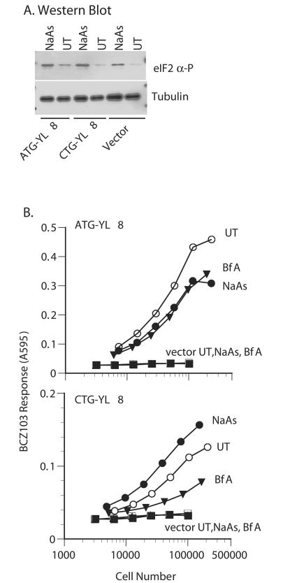 The Leucine Start Is Enhanced in the Presence of Phosphorylated eIF2α HeLa cells transfected with cDNA encoding K b together with cDNA encoding either the ATG- or CTG- initiated peptides were treated for 4 h with 50 μM NaAs, with brefeldin A (BfA), or left untreated (UT). (A) Transfected cells treated with NaAs or without (UT) were lysed and tested for phosphorylation of eIF2α by Western blot and for tubulin as a loading control. (B) The transfected cells were titrated and tested for their ability to stimulate BCZ103 T cells.