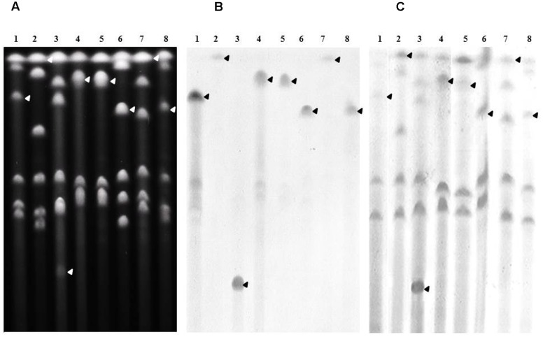 Chromosomal localization of bla CMY -2 in the relevant P. mirabilis isolates. (A) Whole genomic DNAs of isolates 34381 (lane1), 37665 (lane 2), 38327 (lane 3), 38368 (lane 4), 39165 (lane 5), 39175 (lane 6), 39193 (lane 7), and 39214 (lane 8) were digested with I-Ceu I, and the restricted fragments subjected to PFGE. DNA fragments were transferred to a nylon membrane and hybridized with probes specific to bla CMY -2 (B) , and the 23S rRNA gene (C) . The arrows indicate the bands of interest.