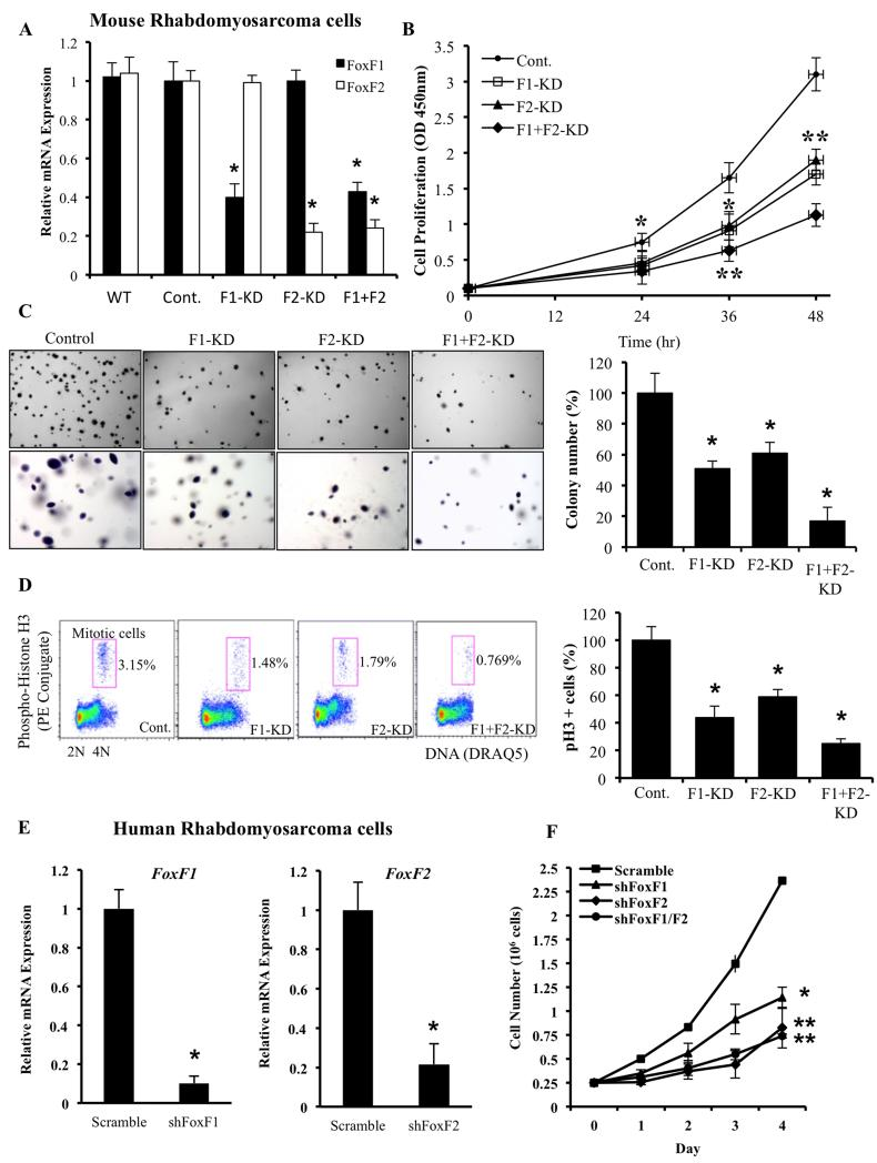 Lentiviral knockdown of FoxF1, FoxF2 or both in mouse and human RMS cells decreased cellular growth  in vitro (A)  Efficiency of FoxF1 and FoxF2 lentiviral knockdown in mouse 76-9 rhabdomyosarcoma cells was shown by qRT-PCR.  β-actin  mRNA was used for normalization. ( B)  Depletion of FoxF1, FoxF2 or both decreased proliferation of 76-9 cells  in vitro . Control, FoxF1-KD, FoxF2-KD and F1+F2-KD 76-9 cells were seeded in triplicates and counted at different time points using WST1 Cell Proliferation Assay. ( C)  Depletion of FoxF1, FoxF2 or both decreased colony formation in soft agar compared to control RMS cells. Cells were seeded in triplicates. Values are the means ± SD of three independent experiments. A  p value  lt;0.05 is shown with (*). ( D)  Depletion of FoxF1, FoxF2 or both decreased the number of cells in mitosis shown by flow cytometery with phospho-Histone H3 antibodies.  (E)  Efficiency of FoxF1 and FoxF2 lentiviral knockdown in human Rh30 rhabdomyosarcoma cells was shown by qRT-PCR.  β-actin  mRNA was used for normalization. ( F)  Depletion of FoxF1, FoxF2 or both decreased proliferation of Rh30 cells  in vitro . Control, FoxF1-, FoxF2- or F1+F2-deficient Rh30 cells were seeded in triplicates and counted at different time points using hemocytometer. Data represent mean±s.d. of three independent experiments. A  p  value   lt; 0.05 is shown with (*);  p  value   lt; 0.01 is shown with (**).