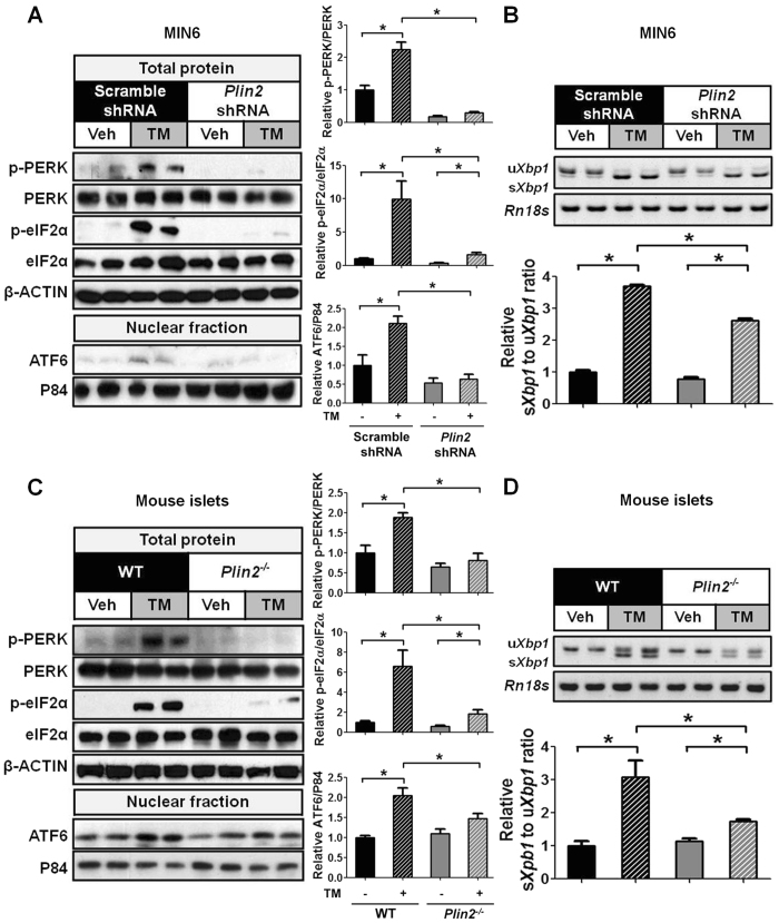 Downregulation of PLIN2 protects against ER stress in MIN6 cells and mouse pancreatic islets. ( A , B ) MIN6 cells and ( C , D ) pancreatic islets of wild-type (WT) and Plin2 −/− mice were treated with vehicle or 5 μg/ml tunicamycin (TM) for 6 hours. ( A , C ) Immunoblotting and quantification for p-PERK, PERK, p-eIF2α, eIF2α, and nuclear ATF6 protein. β-ACTIN and P84 were used as loading controls for total and nuclear proteins respectively. ( B , D ) Semi-quantitative RT-PCR and quantification results for spliced Xbp1 (s Xbp1 ) and unspliced Xbp1 (u Xbp1 ) mRNA. Rn18s was used as a loading control. Quantification was normalized to scramble-shRNA vehicle or WT vehicle. * p