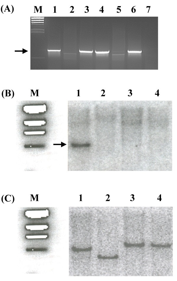 The <t>lps</t> locus is absent from the genomes of Xoo strains BXO8, Nepal624 and Xoor strain BXORI. (A) <t>PCR</t> analysis using primers that are specific to wxoA gene. M is the λ Hind III Marker lane. An expected band of 1 kb (indicated by arrow) is present in the Xoo strains, BXO1 (lane 1), BXO5 (lane 3), BXO6 (lane 4) and BXO20 (lane 6) but absent in BXO8 (lane 5), Nepal624 (lane 7) and BXORI (lane 2). (B) Southern hybridization analysis of Eco RI digested genomic DNA using α- 32 -P labeled wxoA specific probe (see Methods). A 4 kb band can be seen (indicated by arrow) in BXO1 (lane 1) but not in BXORI (lane 2), BXO8 (lane 3) and Nepal624 (lane 4). Similar results were obtained for wxoB , wxoC , wxoD , wzm and wzt genes. (C) The blot from (B) was deprobed and was hybridized with α- 32 P labeled probe specific to the metB gene. A specific band can be seen in all the lanes. Note the sizes of the bands indicating that metB is present in different Eco RI fragments in BXO1, BXORI and BXO8/Nepal624.