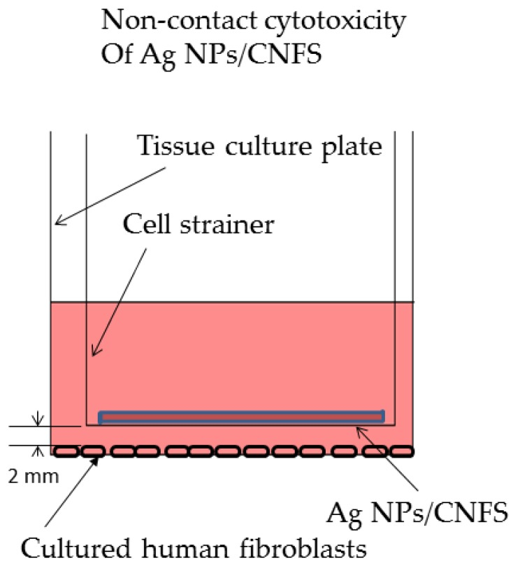 Scheme of experiments on noncontact cytotoxicity of Ag NPs/CNFS (for Figure 3 ). The fibroblasts were cultured on a <t>6-well</t> tissue culture plate in 2.5 mL of Dulbecco's modified Eagle Medium (DMEM) containing 10% FBS for 2 days. Either Ag NPs/CNFS or CNFS alone was placed on a round cell-strainer.