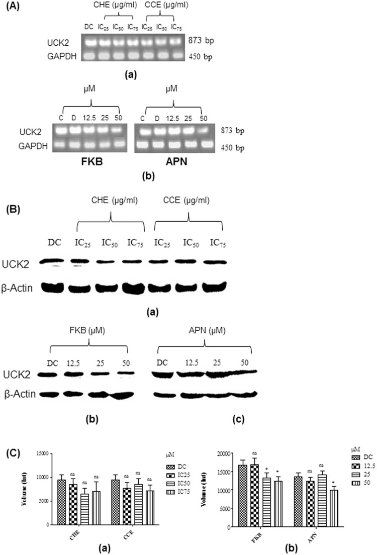 (A) Expression of UCK2 mRNA in HT-29 cells analysed in 1% agarose gel. (a)Levels of UCK2 mRNA expression in cells treated with increasing concentration of crude hexane (IC 25 : 10.52, IC 50 : 21.05, and IC 75 :42.1 μg/mL) and chloroform (IC 25 : 9.5, IC 50 : 19.09, and IC 75 :38.18 μg/mL) extracts; (b) Levels of UCK2 mRNA expressed in cells treated with FKB at 12.5 (3.55 μg/mL), 25 (7.1 μg/mL), and 50 μM (14.2 μg/mL); (c) Levels of UCK2 mRNA expressed in cells treated with APN at a concentration of 12.5 (3.37 μg/mL), 25 (6.75 μg/mL), and 50 μM (13.5 μg/mL). The housekeeping gene, GAPDH was used as loading control. C, Untreated control; D, DMSO used as negative control at a final concentration of 0.1%. (B) Western blot analysis of UCK2 protein expressed in HT-29 cells. (a) Levels of UCK2 protein expression in cells treated with increasing concentration of crude hexane (IC 25 : 10.52, IC 50 : 21.05, and IC 75 :42.1 μg/mL) and chloroform (IC 25 : 9.5, IC 50 : 19.09, and IC 75 :38.18 μg/mL) extracts. (b) Levels of UCK2 protein expressed in cells treated with FKB at a concentration of 12.5 (3.55 μg/mL), 25 (7.1 μg/mL), and 50 μM (14.2 μg/mL). (c) Levels of UCK2 protein expressed in cells treated with APN at a concentration of 12.5 (3.37 μg/mL), 25 (6.75 μg/mL), and 50 μM (13.5 μg/mL). (C) Levels of UCK2 protein expression quantified from western blotting analysis using Bio-rad Image Lab software in HT-29 cells treated with (a) Crude hexane and chloroform extract, and (b) Bioactive compounds of FKB and APN;. DC: DMSO treated control at a final concentration of 0.1%. Data are expressed as Mean±SD; ns: non-significant; *p