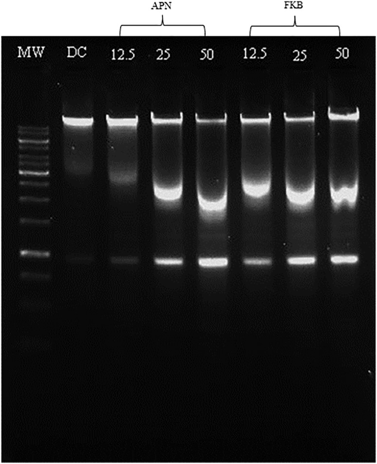 DNA fragmentation analysed in 1% agarose gel after 72 h incubation with different concentration of either FKB or APN. MW: DNA marker; DC: DMSO treated control; all concentrations are in μM.