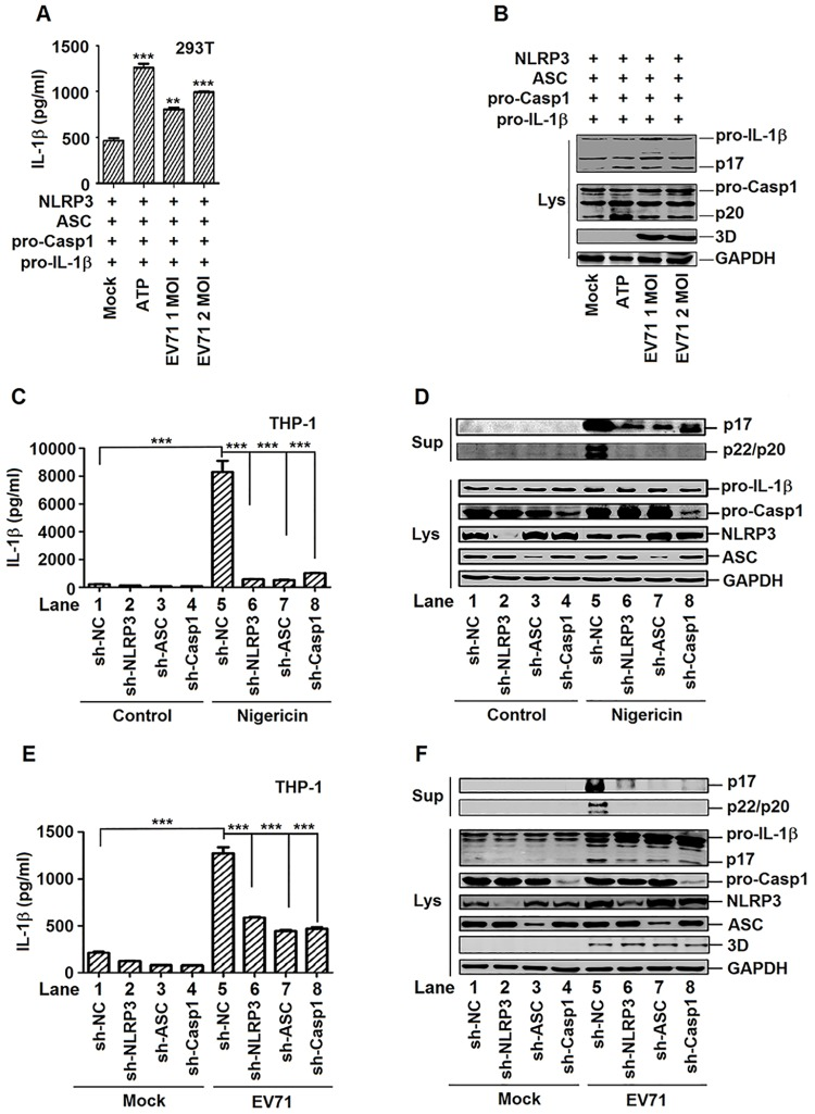 EV71 activates IL-1β through regulating the components of NLRP3 inflammasome complex. ( A and B ) HEK293T cells were transfected with plasmids encoding pro- IL-1β, Flag-pro-caspsase-1, Flag-NLRP3, and Flag-ASC. EV71 (MOI = 1 or 2) infected the transfected cells for 24 h. 5 mM ATP for 30 min as a positive control. Supernatants were analyzed by ELISA for IL-1β secretion (A). Cell lysates were normalized for protein content and analyzed by immunoblotting using antibodies specific to pro-IL-1β, pro-caspase-1, EV71 3D protein and GAPDH (Lys) (B). ( C and D ) TPA-differentiated THP-1 cells with shRNA-mediated specific gene silencing were stimulated by 2 μM Nigericin for 2 h. Supernatants were analyzed by ELISA for IL-1β secretion (C). Immunoblot analysis of the mature (p17) form of IL-1β in the supernatants (Sup). Cell lysates were normalized for protein content and analyzed by immunoblotting using antibodies specific to IL-1β, Caspase-1, NLRP3, ASC, and GAPDH (Lys) (D). ( E and F ) TPA-differentiated THP-1 cells with shRNA-mediated knockdown of gene expression were infected by EV71 (MOI = 20) for 24 h. Supernatants were analyzed by ELISA for IL-1β secretion (E). Immunoblot analysis of the mature (p17) form of IL-1β in the supernatants (Sup). Cell lysates were normalized for protein content and analyzed by immunoblotting using antibodies specific to IL-1β, Caspase-1, NLRP3, ASC, EV71 3D protein, and GAPDH (Lys) (F). Data shown are means±SEM, **p