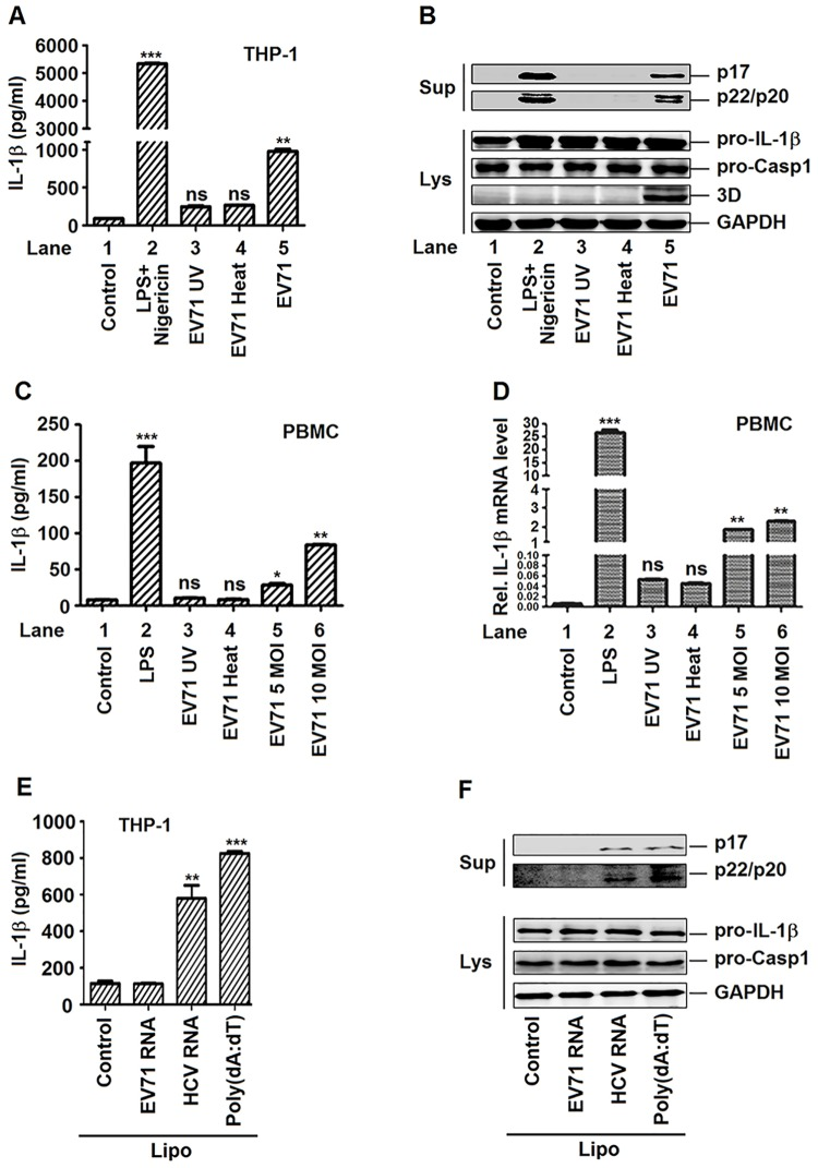 The replication of EV71 virus is required for the activation of IL-1β mediated by NLRP3. ( A and B ) TPA-differentiated THP-1 cells were incubated by inactivated (UV or HOT) or live EV71 virus (MOI = 20) for 48 h. The LPS (1 μg/ml) for 6 h and 2 μM Nigericin for 30 min were used as positive controls. Supernatants were used for detection of IL-1β secretion by ELISA (A). Immunoblot analysis of the mature (p17) form of IL-1β and cleaved caspase-1 in the supernatants (Sup). Cell lysates were normalized for protein content and analyzed by immunoblotting using antibodies specific to pro-IL-1β, pro-caspase-1, EV71 3D protein and GAPDH (Lys) (B). ( C and D ) Human PBMCs were treated with LPS (1 μg/ml) was added for 6 h, inoculated with UV- or heat-inactivated EV71 (MOI = 5) for 36 h, or infected with infectious EV71 (MOI = 5, 10) for 36 h. Supernatants were used for detection IL-1β secretion by ELISA (C). The mRNA levels of pro-IL-1β were quantified by real-time PCR (D). ( E and F ) TPA-differentiated THP-1 cells were stimulated for 6 h with Lipo (Control), EV71 viral RNA (5 μg/ml) plus Lipo, HCV viral RNA (5 μg/ml) plus Lipo or 5 μg/ml poly(dA:dT) plus Lipo (positive control). Supernatants were used for detection IL-1β secretion by ELISA (E). Immunoblot analysis of the mature (p17) form of IL-1β and cleaved caspase-1 in the supernatants (Sup). Cell lysates were normalized for protein content and analyzed by immunoblotting using antibodies specific to pro-IL-1β, pro-caspase-1, and GAPDH (Lys) (F). Data shown are means±SEM, *p