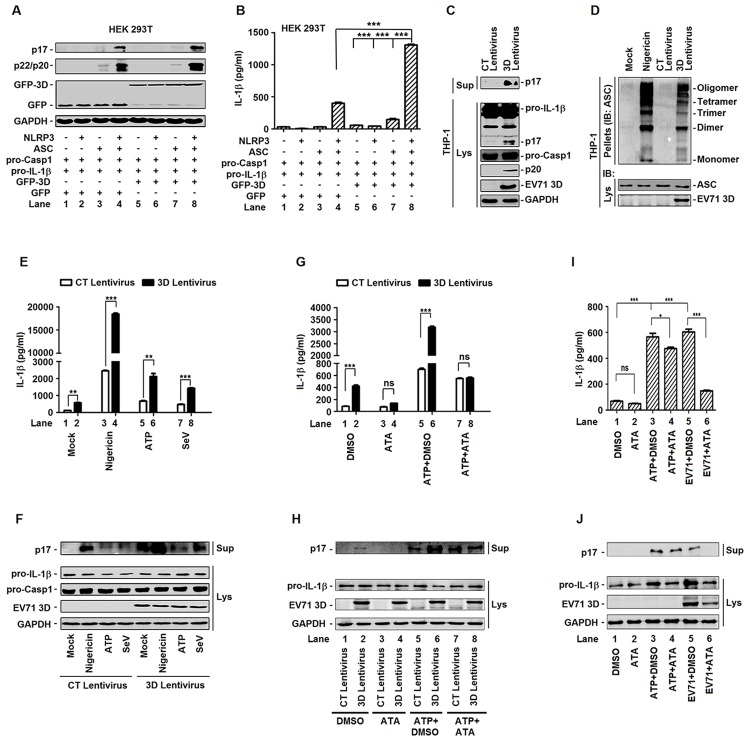 EV71 3D facilitates the activation of NLRP3 inflammasome. ( A and B ) HEK293T cells were transfected with plasmids encoding pro-IL-1βFlag-pro-caspsase-1, with(+) or without(-) Flag-NLRP3, with(+) or without(-) Flag-ASC and with(+) or without(-) EV71 3D protein. Using the GFP as a negative control. Cell lysates were normalized for protein content and analyzed by immunoblotting using antibodies specific for IL-1β, Caspase-1, GFP, and GAPDH (A). Supernatants of the cell cultures were analyzed by ELISA for the detection of IL-1β secretion (B). ( C ) THP-1 cells were infected by control (CT) or 3D-encoding lentivirus. And then THP-1 cells were differentiated into macrophages with TPA. The mature (p17) form of IL-1β in the supernatants were analyzed by immunoblot (Sup). Cell lysates were normalized for protein content and analyzed by immunoblotting using antibodies specific for IL-1β, Caspase-1, EV71 3D protein, and GAPDH (Lys). ( D ) ASC oligomerization in TPA-differentiated THP-1 cells which were infected by control (CT) or 3D-encoding lentivirus. TPA-differentiated THP-1 cells were treated with the 2 μM Nigericin for 2 h as a positive control. TPA-differentiated THP-1 cells were treated with DMSO as a negative control. ( E and F ) TPA-differentiated THP-1 cells which were infected by control (CT) or 3D-encoding lentivirus was treated with 2 μM Nigericin for 2 h, 5 mM ATP for 2 h or infection with Sendaivirus (MOI = 1) for 24 h. Supernatants were analyzed by ELISA for IL-1β secretion (E). Immunoblot analysis of the mature (p17) form of IL-1β in the supernatants (Sup). Cell lysates were normalized for protein content and analyzed by immunoblotting using antibodies specific for pro-IL-1β, pro-caspase-1, EV71 3D protein, and GAPDH (Lys) (F). ( G and H ) TPA-differentiated THP-1 cells were infected with control (CT) or 3D-encoding lentivirus, treated with DMSO or 80 μM aurintricarboxylic acid (ATA) for 24 h, and treated with 5 mM ATP for 2 h. Supernatants were analyzed by ELISA for IL-1β secretion (G). Immunoblot analysis of the mature (p17) form of IL-1β in the supernatants (Sup). Cell lysates were normalized for protein content and analyzed by immunoblotting using antibodies specific for pro-IL-1β, EV71 3D, and GAPDH proteins (Lys) (H). ( I and J ) TPA-differentiated THP-1 cells were infected with EV71 at MOI = 20 for 2 h, treated with DMSO or 80 μM aurintricarboxylic acid (ATA), and the treated with 5 mM ATP for 2 h. At 24 h post-infection of EV71, supernatants were analyzed by ELISA for IL-1β secretion (I). Immunoblot analysis of the mature (p17) form of IL-1β in the supernatants (Sup). Cell lysates were normalized for protein content and analyzed by immunoblotting using antibodies specific for pro-IL-1β, EV71 3D, and GAPDH proteins (Lys) (J). Data shown are means ± SEM, *p