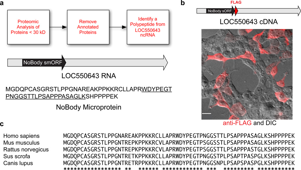 The LOC550643/LINC01420 gene encodes the NoBody peptide in a short open reading frame (sORF) ( a ) K562 and HEK293T cellular peptides were enriched and subjected to multidimensional LC-MS proteomics. Peptide mass spectra were searched against a custom protein database obtained from the 3-frame translation of RNA-Seq data from these cell lines. Annotated peptides were removed by BLAST search to afford a list of non-annotated peptides. This workflow led to the discovery of a tryptic peptide (underlined sequence) derived from a polypeptide translated from a sORF (black) in the LOC550643 RNA transcript (gray). The polypeptide is hereafter referred to as NoBody. ( b ) Transfection of an expression construct corresponding to the annotated full-length LOC550643 cDNA sequence (gray), with an epitope tag (red) at the C-terminus of the putative short ORF (black) into HEK293T cells resulted in expression of NoBody (red anti-FLAG immunofluorescence image superimposed on differential interference contrast (DIC) image). Scale bar, 20 µm. ( c ) ClustalW2 alignment of full-length NoBody polypeptide sequence from a variety of mammals. Amino acid identity is indicated by asterisks.