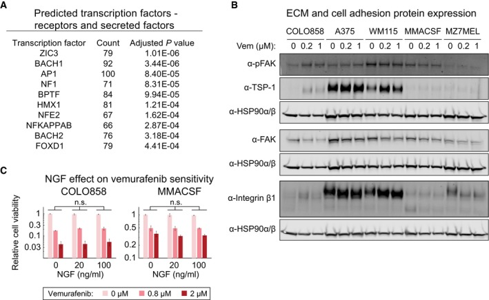 The NGFR High drug‐resistant state is dependent on AP1 and focal adhesion signaling, but not NGF signaling A list of transcription factor candidates predicted to regulate differentially expressed receptors and secreted factors between vemurafenib‐treated COLO858 and MMACSF cells. Western blotting for NGFR‐inducible COLO858 cells, NGFR High A375 and WM115 cells, and NGFR Low MMACSF and MZ7MEL cells, treated for 48 h with 0.2 or 1 μM vemurafenib or DMSO. The effect of NGF at indicated concentrations on viability of COLO858 and MMACSF cells treated in duplicate with vemurafenib at indicated doses for 48 h. Data are presented as mean ± SD. Statistical significance was determined by two‐way ANOVA.