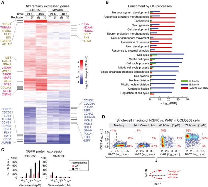 Drug resistance is associated with de‐differentiation of cells to a slowly cycling NGFR High phenotype Differentially up‐regulated genes in COLO858 relative to MMACSF cells treated with 0.2 μM vemurafenib for 24 and 48 h (log 2 (ratio) ≥ 1). Selected genes involved in neurogenesis, neural differentiation and myelination (red), cell adhesion, ECM remodeling and epithelial–mesenchymal transition (brown), and cell cycle regulation (blue) are highlighted. Top Gene Ontology (GO) biological processes differentially regulated between COLO858 and MMACSF cells. NGFR protein levels measured in duplicate by immunofluorescence in COLO858 and MMACSF cells treated with indicated doses of vemurafenib for 48 or 72 h. Data are presented as mean ± SD. Covariate single‐cell analysis of Ki‐67 versus NGFR in COLO858 cells 24–72 h after exposure to 1 μM vemurafenib or DMSO.