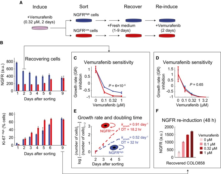 Vemurafenib‐induced de‐differentiation of cells and adaptive resistance are reversible upon drug removal Schematic outline of an experiment involving induction of the slowly cycling NGFR High state in COLO858 cells following 48‐h treatment with 0.32 μM vemurafenib, sorting cells to obtain NGFR Low and NGFR High subpopulations, recovering each cell subpopulation in fresh growth medium for 1–9 days, and re‐inducing recovered cells with vemurafenib. NGFR and Ki‐67 protein levels measured by immunofluorescence in cells grown for 9 days in fresh medium ( n = 4). Growth rate (GR) inhibition assay performed on FACS‐sorted NGFR High and NGFR Low pools of cells after 2 (C) or 9 (D) days of outgrowth in fresh medium. Measurements were performed in 4 (C) or 6 (D) replicates. Growth rate and doubling time measurements in 4 replicates in FACS‐sorted NGFR High and NGFR Low cells during 2–5 days of outgrowth in fresh medium. NGFR levels measured in duplicate by immunofluorescence in COLO858 cells recovered after 9 days of outgrowth in fresh media and subsequently re‐exposed for 48 h to four doses of vemurafenib. Data information: Data in (B–F) are presented as mean ± SD. Statistical significance was determined by two‐way ANOVA.