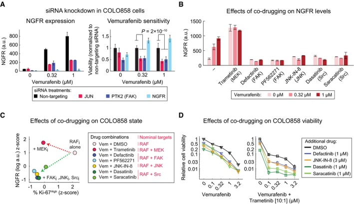 Concurrent inhibition of RAF / MEK signaling and the c‐Jun/ FAK /Src cascade blocks the NGFR High state and increases cell killing NGFR levels as measured by immunofluorescence (left panel) and relative cell viability (right panel) in COLO858 cells following treatment in duplicate with indicated doses of vemurafenib in the presence of siRNAs targeting JUN , PTK2, and NGFR for 72 h. Viability data for each siRNA condition at each dose of vemurafenib were normalized to cells treated with the same dose and the non‐targeting siRNA. NGFR protein levels measured by immunofluorescence in duplicate in COLO858 cells treated for 48 h with indicated doses of vemurafenib, in combination with DMSO, MEK inhibitor trametinib (0.6 μM), FAK inhibitors defactinib (3 μM) and PF562271 (3 μM), JNK inhibitor JNK‐IN‐8 (3 μM), or Src inhibitors dasatinib (3 μM) and saracatinib (3 μM). Pairwise comparison between drug combination‐induced changes in NGFR and Ki‐67 in COLO858 cells treated for 48 h with vemurafenib at 0.32 and 1 μM in combination with DMSO or two doses of trametinib (0.2, 0.6 μM), defactinib (1, 3 μM), PF562271 (1, 3 μM), dasatinib (1, 3 μM), saracatinib (1, 3 μM), and JNK‐IN‐8 (1, 3 μM). NGFR and Ki‐67 levels were measured by immunofluorescence. For each signal, data were averaged across two replicates, two doses of vemurafenib, and two doses of the second drug, log‐transformed, and z ‐score‐scaled across seven different drug combinations. Relative viability of COLO858 cells treated for 72 h with vemurafenib or vemurafenib plus trametinib (10:1 dose ratio) in combination with DMSO, JNK‐IN‐8, dasatinib, saracatinib, and defactinib at indicated doses. Viability data were measured in three replicates and normalized to DMSO‐treated controls. Data information: Data in (A, B, D) are presented as mean ± SD. Statistical significance was determined by two‐way ANOVA.