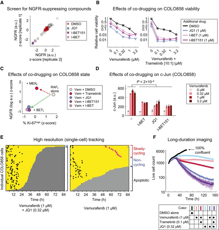 BET inhibitors suppress the slowly cycling NGFR High state and effectively reduce the cancer cell population with time COLO858 cells were treated for 48 h in duplicate with vemurafenib (at 0.32 μM) in combination with DMSO or three doses (0.11, 0.53, and 2.67 μM) of each of 41 compounds in a chromatin‐targeting library. NGFR protein levels were measured by immunofluorescence, averaged across three doses of each compound, and z ‐scored. Relative viability of COLO858 cells treated for 72 h with vemurafenib or vemurafenib plus trametinib (10:1 dose ratio) in combination with DMSO, (+)‐JQ1, I‐BET, and I‐BET151 at indicated doses. Viability data were measured in three replicates and normalized to DMSO‐treated controls. Pairwise comparison between drug‐induced changes in NGFR and Ki‐67 in COLO858 cells treated with vemurafenib at 0.32, 1, and 3.2 μM in combination with DMSO or trametinib (0.2 μM), I‐BET (1 μM), I‐BET151 (1 μM), and (+)‐JQ1 (1 μM) for 48 h. Data for each drug combination were averaged across two replicates and three doses of vemurafenib, log‐transformed, and z ‐score‐scaled. c‐Jun protein levels measured by immunofluorescence in duplicate in COLO858 cells treated for 48 h with indicated doses of vemurafenib, in combination with DMSO, I‐BET (1 μM), (+)‐JQ1 (1 μM), and I‐BET151 (1 μM). Single‐cell analysis of division and death events following live‐cell imaging of COLO858 cells treated with 1 μM vemurafenib in combination with DMSO or (+)‐JQ1 (0.32 μM) for 84 h. Data are presented as described in Figure 1 . Time‐lapse analysis of COLO858 cells treated in three replicates for ˜1 week with different drug combinations at indicated doses. Data for DMSO‐treated cells are shown until day 3, the time at which cells reach ˜100% confluency. Data information: Data in (B, D, F) are presented as mean ± SD.