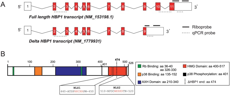 Alternative splicing of Hbp1 transcripts. (A) Gene structure of the two Hbp1 splice variants. The full-length transcript comprises 11 exons and the truncated transcript is composed of the first 9 exons. Both transcripts contain identical 5'UTRs in addition to distinct 3'UTRs (open boxes), the specific riboprobes and real time PCR probes are depicted. (B) Location of HBP1 protein domains and nuclear localisation signals (NLS).
