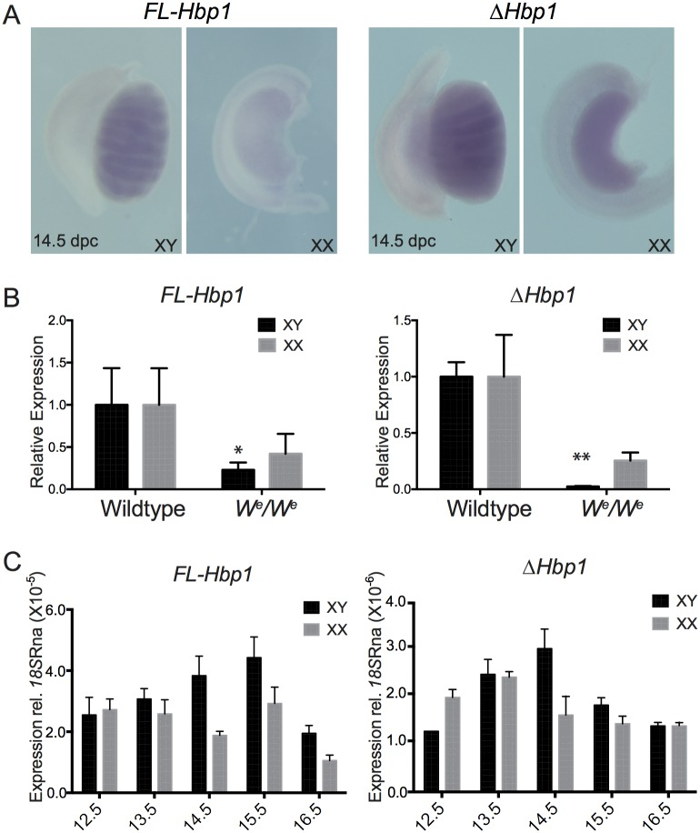 Detection of Fl-Hbp1 and ΔHbp1 transcripts in wildtype and W e /W e gonads. (A) Detection of Fl-Hbp1 and ΔHbp1 in 14.5 dpc XX and XY gonads using whole mount in situ hybridisation (B) qRT-PCR analysis detected lower levels of Fl-Hbp1 and ΔHbp1 gene expression in 13.5 dpc XY and XX W e /W e mutant gonads which lack germ cells. Expression was normalised to 18S RNA (mean ± S.E.M of three independent experiments, each performed in triplicate) and wildtype controls set to 1. * P