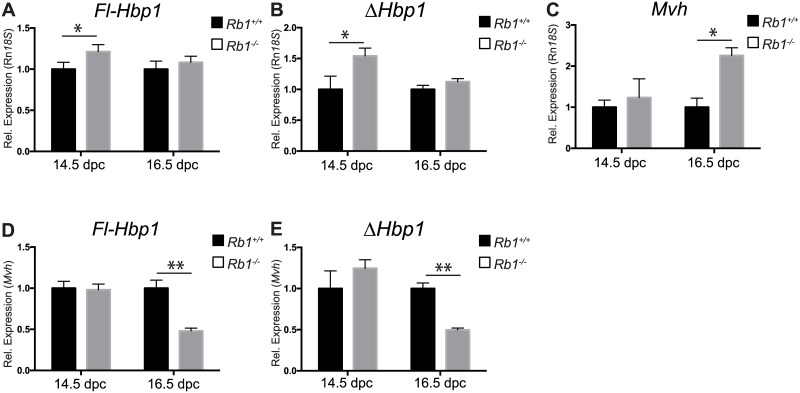 Hbp1 expression in Rb +/+ and Rb -/- mutant XY gonads. Using qRT-PCR analysis, normalizing gene expression to 18S RNA, both Fl-Hbp1 (A) and ΔHbp1 (B) gene expression was significantly increased in Rb -/- mutant XY gonads at 14.5 dpc. In 16.5 dpc Rb -/- cultured XY gonads, there was no significant difference in either Fl-Hbp1 or ΔHbp1 gene expression, although germ cell marker Mvh was significantly increased at this timepoint ( C ). When gene expression was normalized to germ cell marker Mvh , both Fl-Hbp1 (D) and ΔHbp1 (E) gene expression was significantly decreased in 16.5 dpc Rb -/- cultured XY gonads. (mean ± S.E.M of three independent experiments, each performed in triplicate; wildtype controls ( Rb +/+ ) set to 1). * P