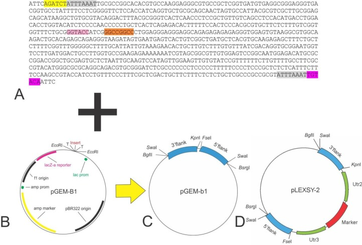 (A) The flank area with enzymes sequences (yellow: Bgl II, gray: Swa I, pink: Kpn I, orange: Fse I, violet: Bsr gI). (B) The map of the pGEM-b1 vector. (C) pGEM-b1 vector that contain the flank regions and specific restricted enzymes for cloning. (D) The pLexsy-2 vector contain construct after cloning